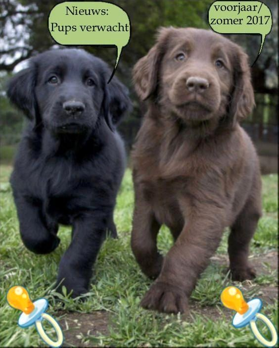 flatcoated-retriever-pups